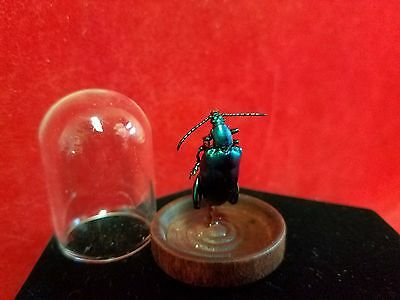 Preserved Entomology BLUE/GREEN Sagra Longicollis Beetle-insect-bug-taxidermy