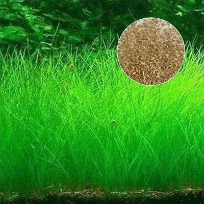 Fish Tank Aquarium Plant Seeds Aquatic Water Grass  Garden Foreground Plant Z#D