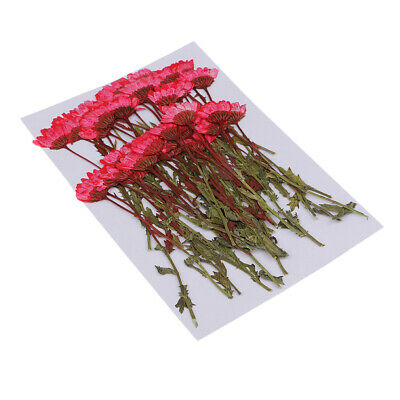 50pcs Pressed Flowers Red Chrysanthemum for Floral Art Craft Scrapbooking