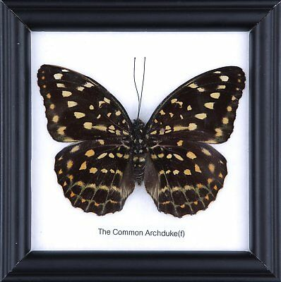 The Common Archduke Butterfly - Real Framed Specimen | by NaturalHistoryDirect |