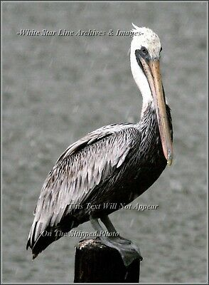 Photo: INCREDIBLE PELICAN SERIES: 'All Weather Bird': Louisiana Bayou, 2009