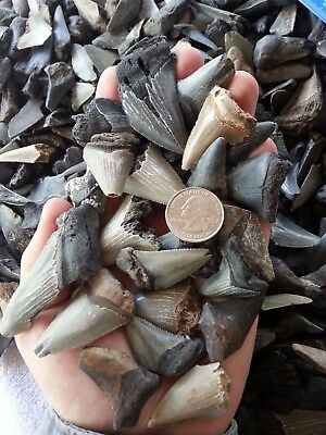 $1.00 Fossil Shark Tooth Per Lot. Megalodon Angustidens Mako Great White Teeth