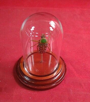 * Entomology/Taxidermy Large Beetle Glass Dome Display-MALE-insect/bug-S. Gutta