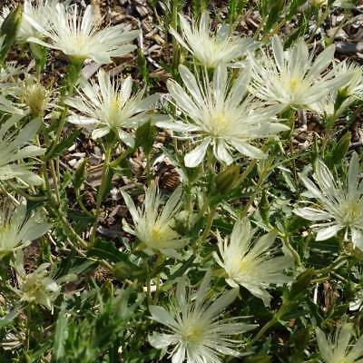 Mentzelia Decapetala - 50 Seeds - Tenpetal Blazingstar - Evening Star
