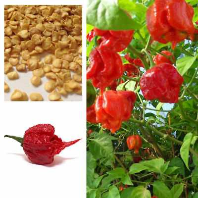 100* Super Hot Carolina Reaper Chilli Pepper Seeds Home Garden Plant To Eat