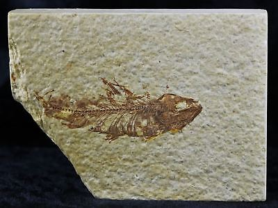 Knightia Eocaena Fossil Fish Green River Formation Wyoming Eocene Age 2.2 Inches