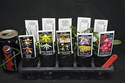 OoN 10 assorted Mixed Aussie Native tubes orchids Mix