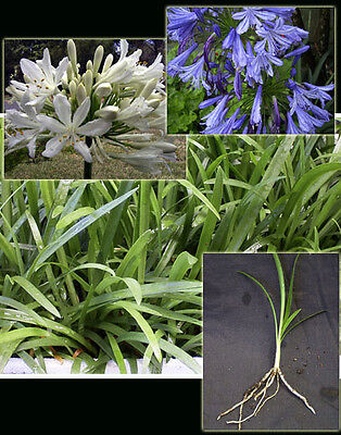 Agapanthus Seedlings, 20+ mix of blue and white, SUPER SPECIAL!