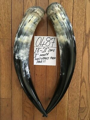 "18""-21"" Each. Cow Horns/ Bull Horns STEER LONGHORN TAXIDERMY Pairs Polished"