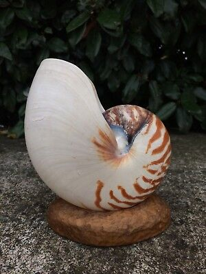 Nautilus Shell And Stand. 17cm X12cm.