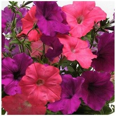 ~ Easy Wave OPPOSITES ATTRACT * Trailing Petunia * 20 Pelleted Seeds