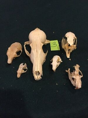 6 Real Animal Skull Pieces Cottontail Red Fox Mink Christmas Gift Art Craft Men