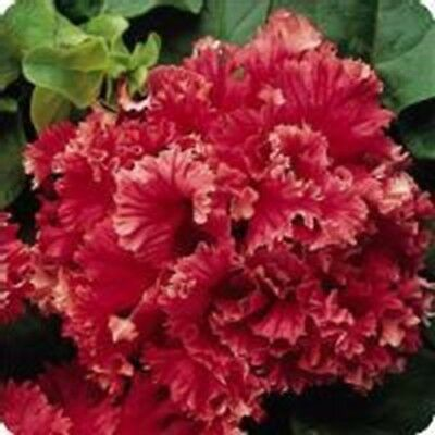 Double VALENTINE ~ Red PETUNIA ~ 25 Pelleted SEEDS