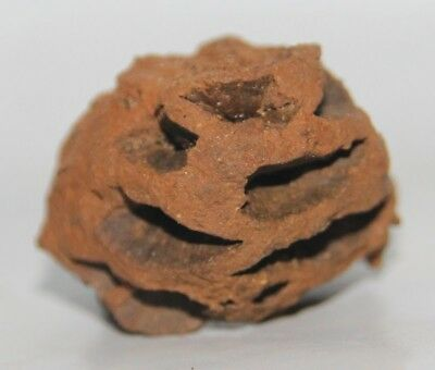 Excellent - META SEQUOIA PINE CONE FOSSIL - HELL CREEK FORMATION CRETACEOUS USA