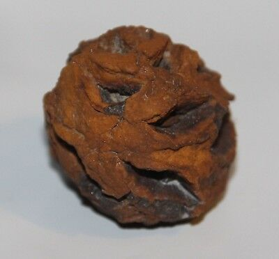 Meta Sequoia Pine Cone Fossil - Dinosaur Age Cretaceous Hell Creek Formation