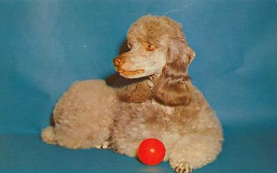 Vintage Postcard PC Apricot Poodle Pal with Red Ball Mirro-Krome USA c1980s Dog