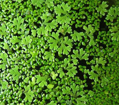 Duckweed + Azolla Fern MIX / Starter Pack  1 8x10cm Snap Seal Bag~ONLY NSW ACT