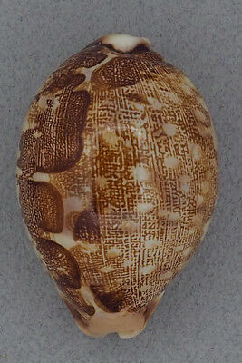 Coquillage de collection : Cypraea mappa geographica (67 mm)