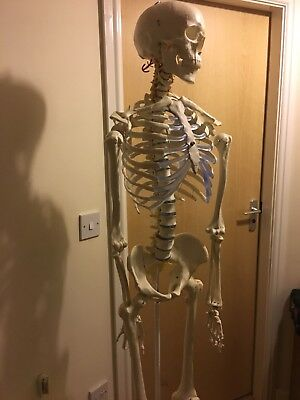 Human Skeleton Model - Life size and perfect condition! Anatomy/medical