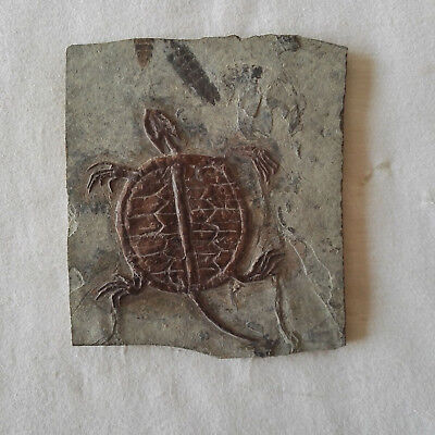 Best Manchurochelys liaoxiensis Turtle Skeleton Fossil Cretaceous FREE SHIPPING