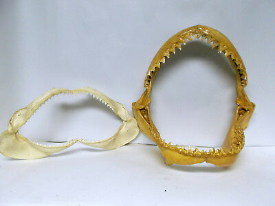 """Pair of Shark Jaws one lacquered one natural up to 10"""" bite VGC used for display"""