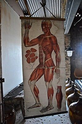 German antique vintage human anatomical muscular canvas chart poster signed