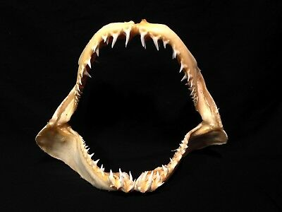 """Vintage Real 9 1/2"""" Mako Shark Jaw Teeth Mouth Taxidermy Tooth Specimen"""