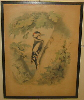 Antique 1857 EDOUARD TRAVIES 'L'Epiche' Spotted WOODPECKER Bird LITHOGRAPH