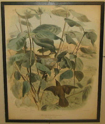 Antique 1857 EDOUARD TRAVIES 'L'Efarvatte' WARBLER Bird in Nest LITHOGRAPH