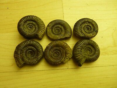 6X DACTYLIOCERAS .TOP QUALITY.whitby uk fossil ammonites,av 35mm each.