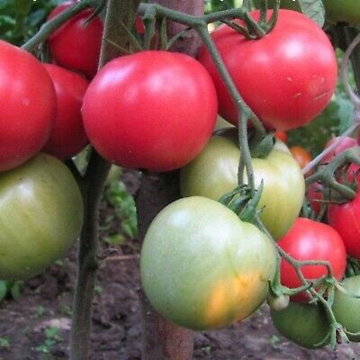 Vegetable Seeds Pink Tomato Ozharovskiy Malinovyy Ukrainian Heirloom NON GMO