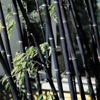 100Pcs Pubescens Moso Bamboo Seeds Easy Care Planting Perennial Garden Plants