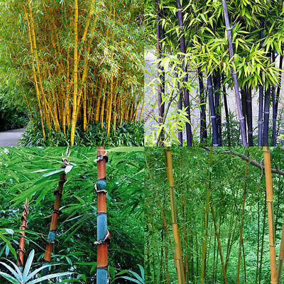 Rare 100Pc Phyllostachys Black Tinwa Pubescens Moso-Bamboo Garden Plant Seeds