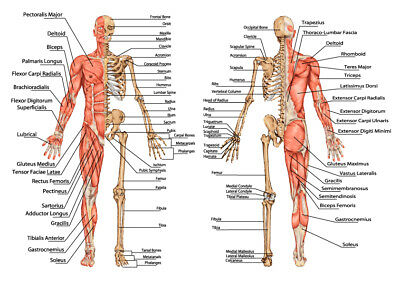 Human skeleton from the posterior, Bony and muscular -> licensed Quality Poster