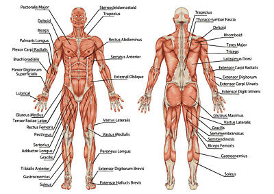 Anatomy of male muscular system full body, posterior & anterior,Posters licensed