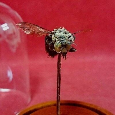 Taxidermy Entomology X Large Carpenter Bee w/Tongue out-Nectar Extractor-insect