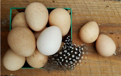 1 Dozen Natural Colored Blown Guinea Hen Eggs Easter