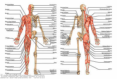 A2 HUMAN ANATOMY BODY / BONES an excellentdetailed poster print great quality