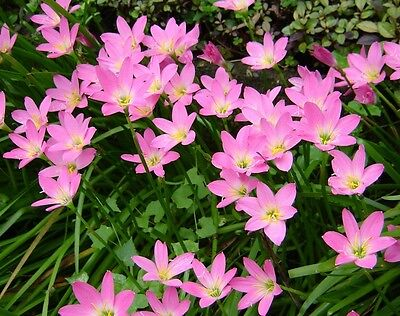 *UNCLE CHAN* 5 BULB RAIN LILY PINK PURPLE Zephyranthes Grandiflora FLOWER