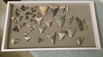 sharks teeth vintage collection