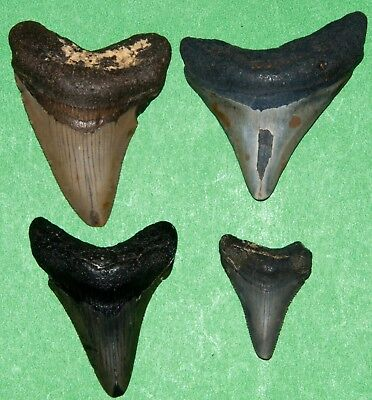 Lot of 4 Megalodon fossil sharks tooth teeth relative of great white