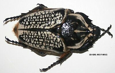 Insect Coleoptera Beetle Goliathus Orientalis Female 18-GOL OR F 0015