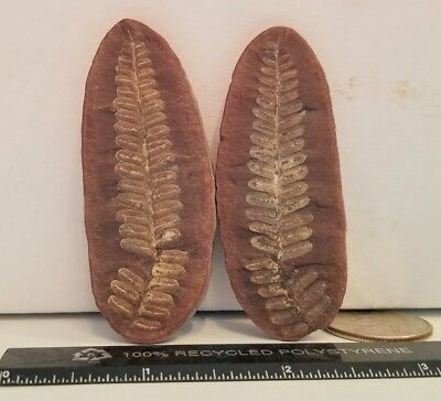Beautiful Mazon Creek Pecopteris Plant Frond Leaf Fern Authentic Fossil Geology