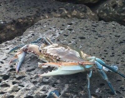 Real blue crab taxidermy gift item beach Coral  Reef Gulf Limited Time