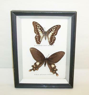 2 x Vintage Mounted & Framed BUTTERFLIES/ButterFly Taxidermy Display