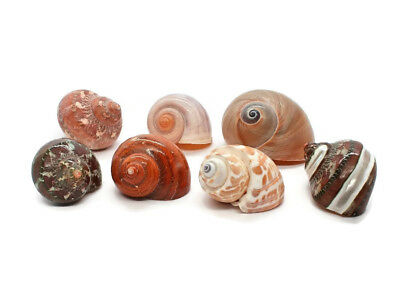 "7 Assorted Turbo Hermit Crab Shells 1""-2"" size (opening 5/8""-1"") Free Shipping"