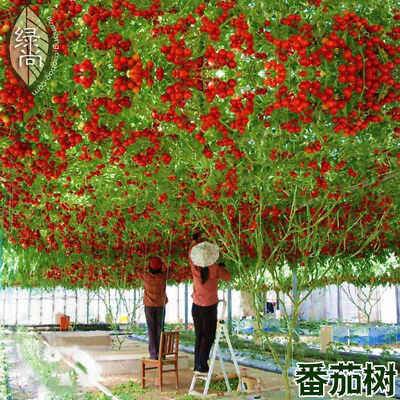 Tomato Seed For Grain Seedling Tree Seedling 200 Seeds