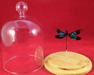"""#A Real Iridescent Wing Dragonfly Odonates Spread 3"""" Glass Dome Display specimen"""