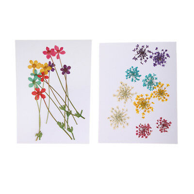 20pcs Colorful Pressed Dried Water Lily Lotus/Ammi Majus Flowers for Crafts