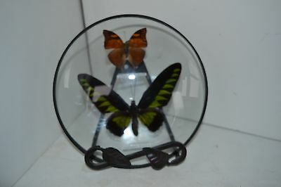 Bubble Glass FRAMED Real BUTTERFLY INSECT Doleschallia Bisaltide Brookaina